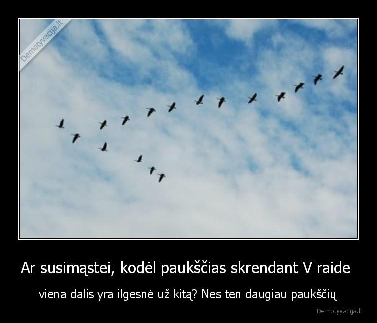 Ar susimastei kodel paukscias skrendant V raide viena dalis yra ilgesne uz kita Nes ten daugiau pauksciu