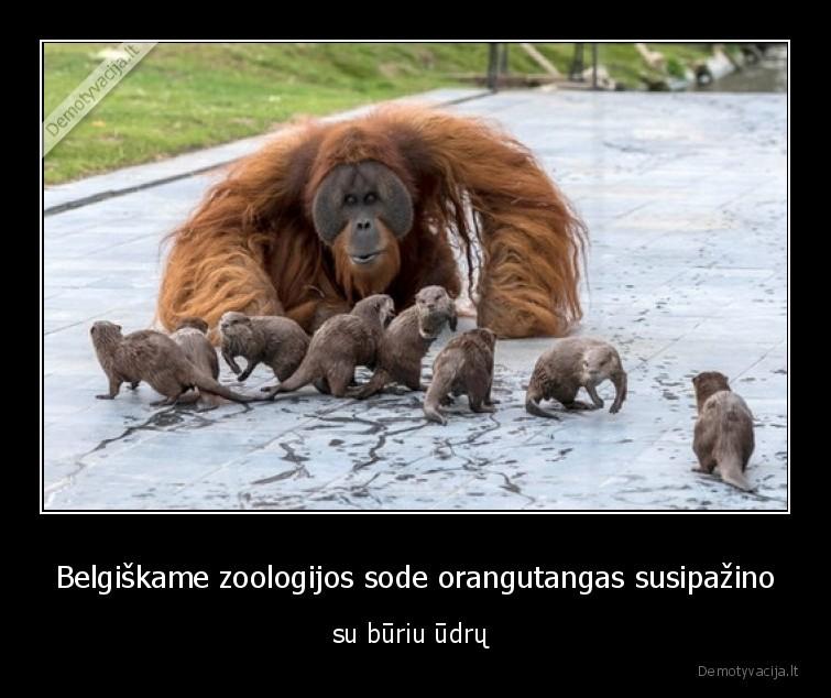 Belgiskame zoologijos sode orangutangas susipazino su buriu udru