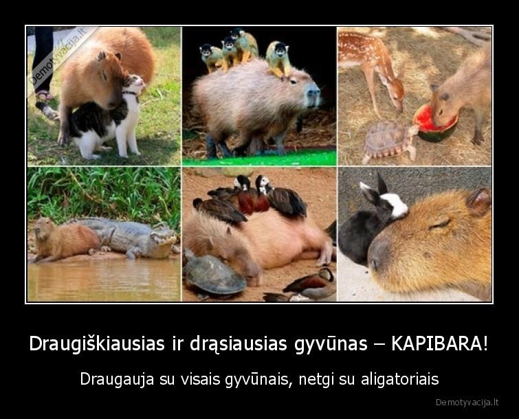 Draugiskiausias ir drasiausias gyvunas KAPIBARA Draugauja su visais gyvunais netgi su aligatoriais