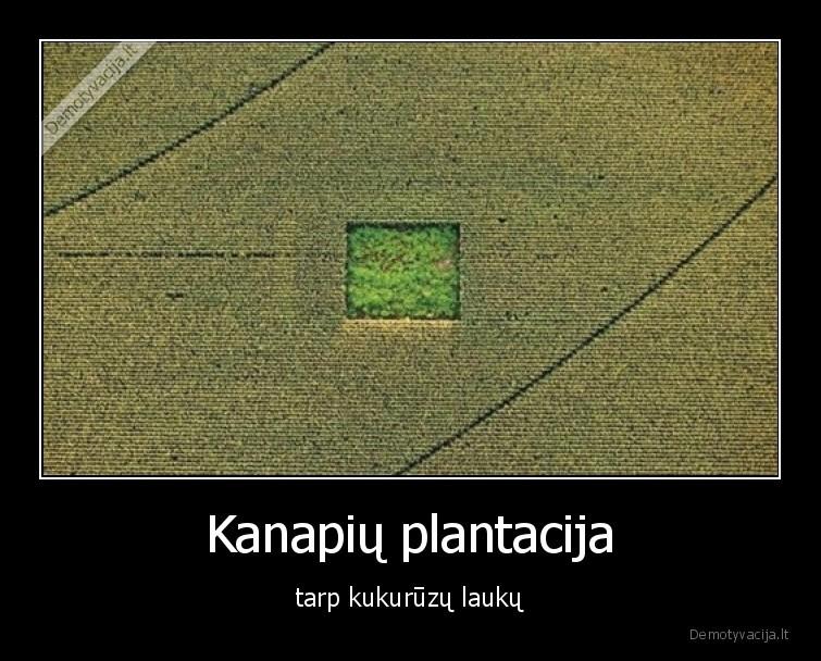Kanapiu plantacija tarp kukuruzu lauku
