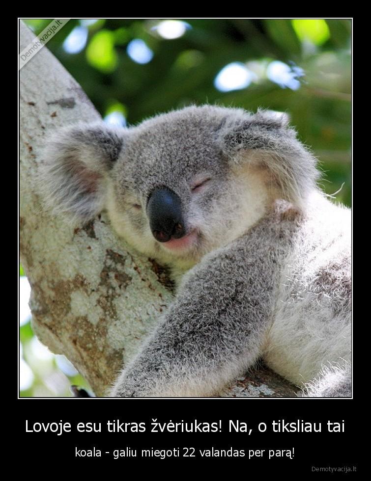 Lovoje esu tikras zveriukas Na o tiksliau tai koala galiu miegoti 22 valandas per para