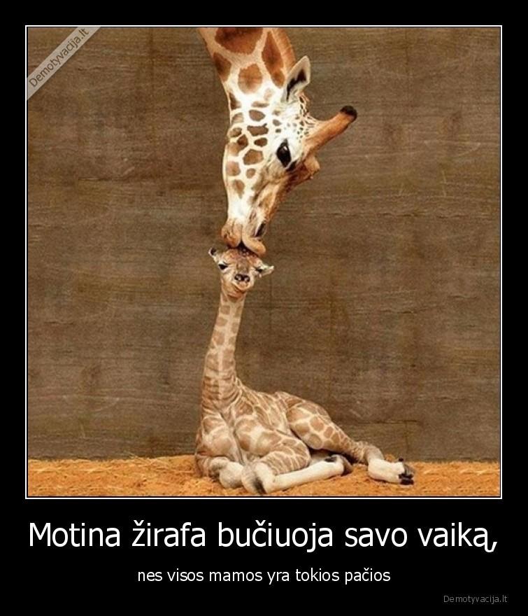 Motina zirafa buciuoja savo vaika nes visos mamos yra tokios pacios