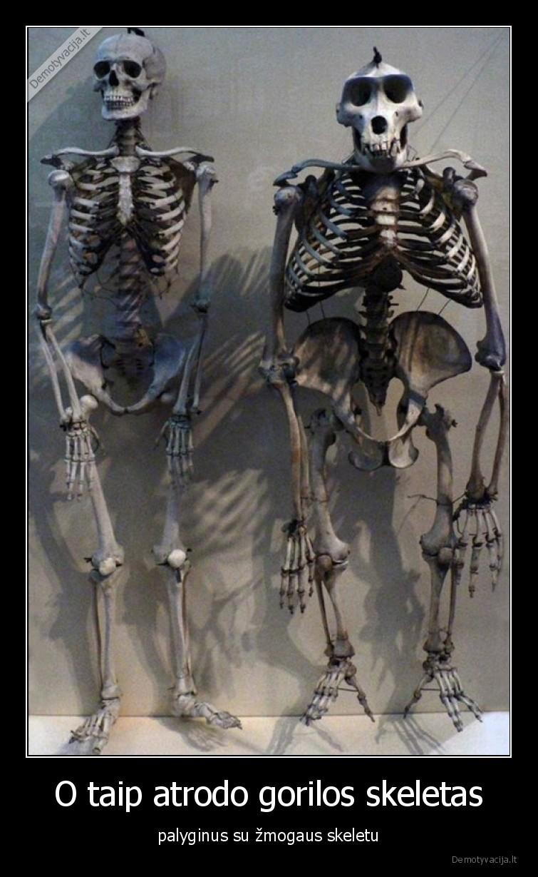 O taip atrodo gorilos skeletas palyginus su zmogaus skeletu