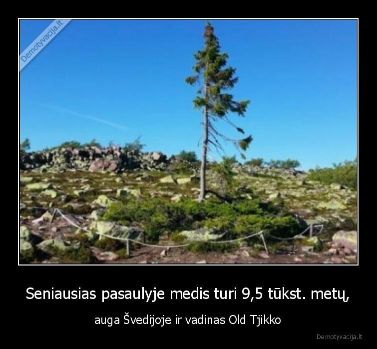 Seniausias pasaulyje medis turi 95 tukst. metu auga svedijoje ir vadinas Old Tjikko