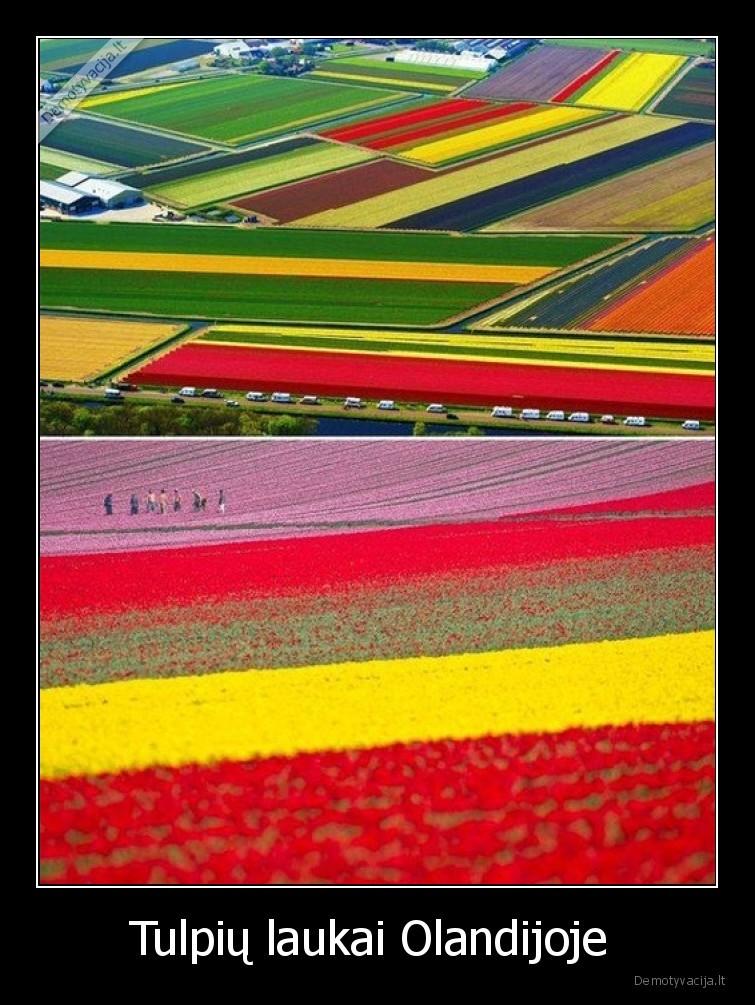 Tulpiu laukai Olandijoje