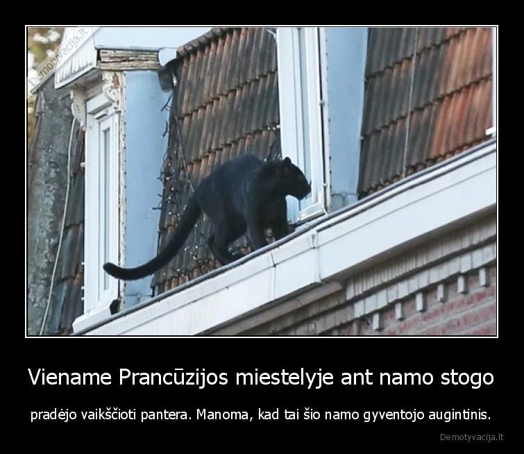 Viename Prancuzijos miestelyje ant namo stogo pradejo vaikscioti pantera. Manoma kad tai sio namo gyventojo augintinis