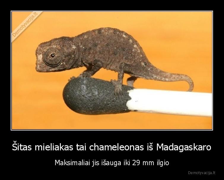Sitas mieliakas tai chameleonas is Madagaskaro Maksimaliai jis isauga iki 29 mm ilgio